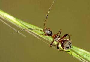 Ameisenwanze Myrmecoris gracilis